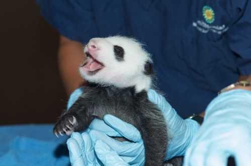 """它2013年8月23日在动物园出生,父母""""添添""""和""""美香""""来自中国四川,2000"""