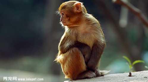 猕猴很容易驯养繁殖,在我国《国家重点保护野生动物名录》中,猕猴被列
