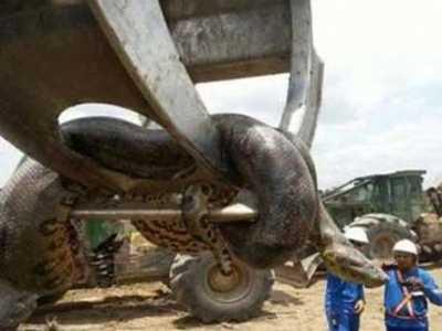 最大蟒蛇图片 四川55米长大蟒蛇是真的吗