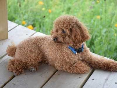 成年泰迪犬怎么喂养 成年的泰迪增加毛量吃什么好
