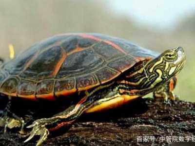 最大的乌龟 十大最难养乌龟排行