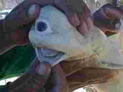 独眼鲨鱼 畸形鲨鱼